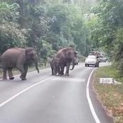 Des éléphants chargent une voiture de touristes en Thaïlande