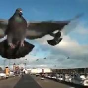 Le vol d'un pigeon en slowmotion