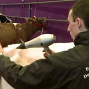 Les coiffeurs de vache au Salon de l'agriculture