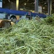 Salon de l'agriculture: que devient la bouse des vaches?