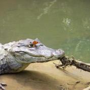 Costa Rica : un papillon boit des larmes de crocodile