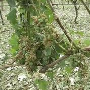 Intempéries: les viticulteurs sinistrés craignent une perte sans précédent