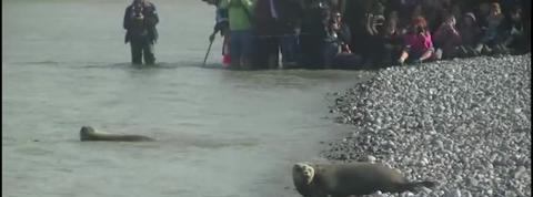 Six jeunes phoques remis à l'eau dans la baie de Somme