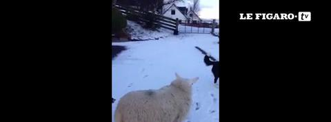 Pet, le mouton qui voulait être chien berger