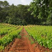 Début des vendanges en Provence lundi, quantité et qualité au rendez-vous