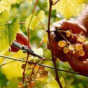 La récolte de vin repart à la hausse dans l'UE