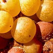 Vol de raisins dans le bordelais