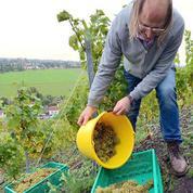 Le premier terril viticole de France fait ses vendanges