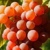 Vin : La vérité sur les productions biologiques